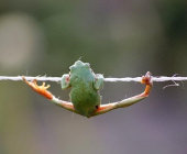 Frog hanging by a thread